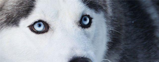 Глаза Сибирских хаски  7088511d4047