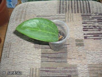 декоротивно-лиственные и красивоцветущие растения - Страница 3 A2db533077b7