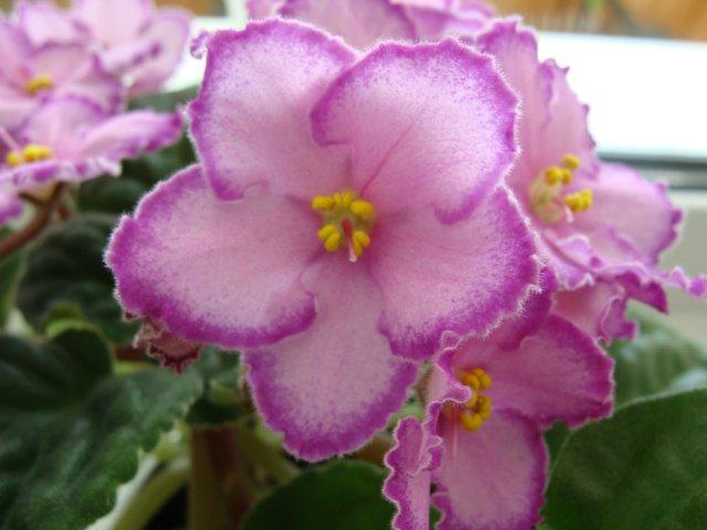 Мои цветочки - Страница 39 72b803e98fd4