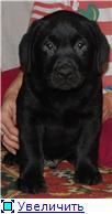 Шоколадные и черные щенки лабрадоров в  питомнике Луссо Анжело B3819ad5bf0bt