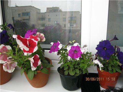 Цветы на балконе. - Страница 6 6297add6218f
