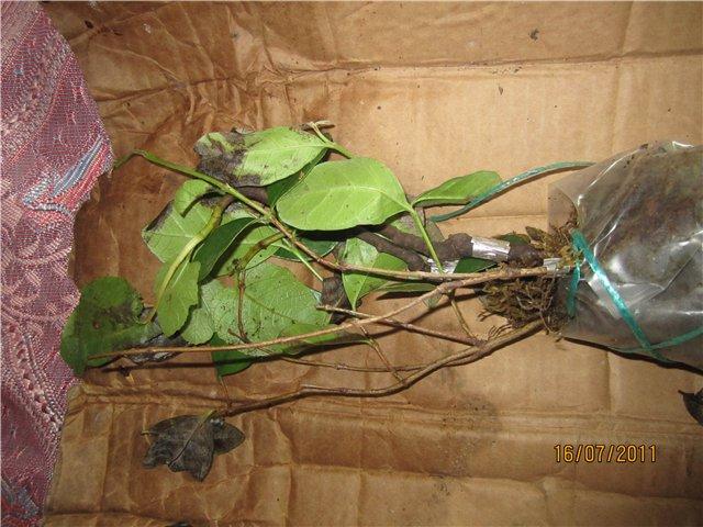 Растения из Сочинского питомника - Страница 2 66b42e9e13f1