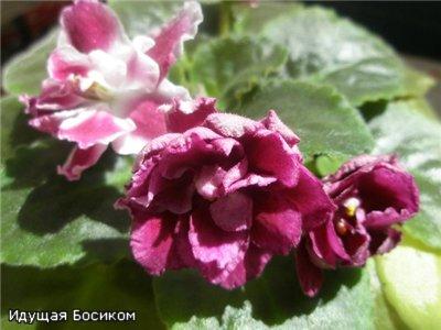 Цветочные красотки и красавцы Идущей Босиком 09d61307a686