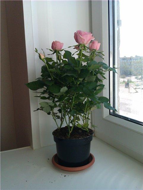 Комнатная роза - Страница 3 C78087652021