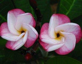 продам семена экзотических растений 32d68508377e