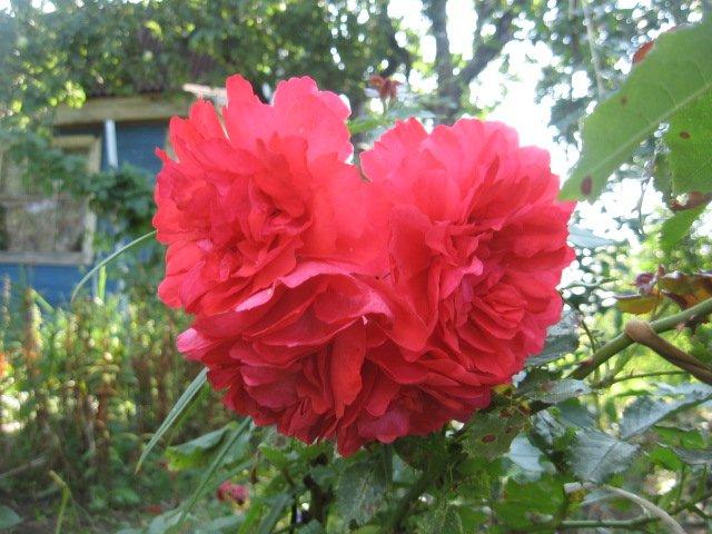 Во саду ли, в огороде... - Страница 6 Dccddb1e6a5f