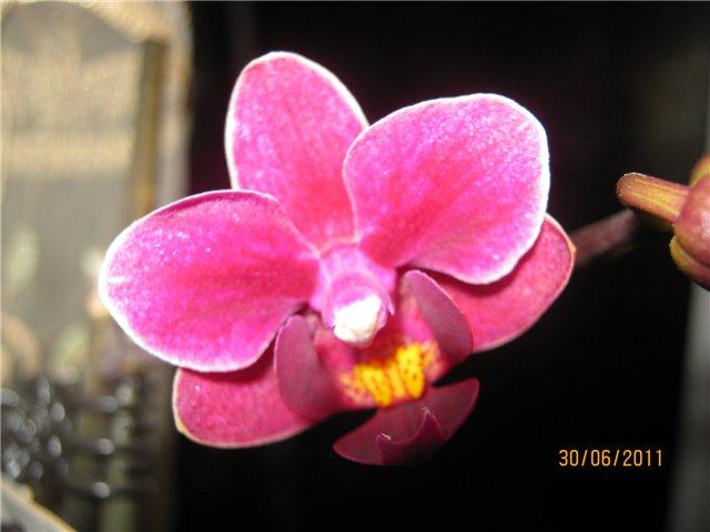 Разведение орхидей. - Страница 13 0f551131202c