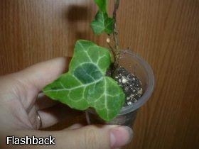 декоротивно-лиственные и красивоцветущие растения - Страница 3 Cb1007535781
