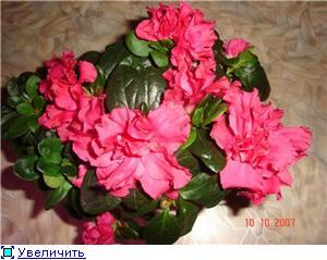 Азалия - капризная красотка 47b0d3682f46t