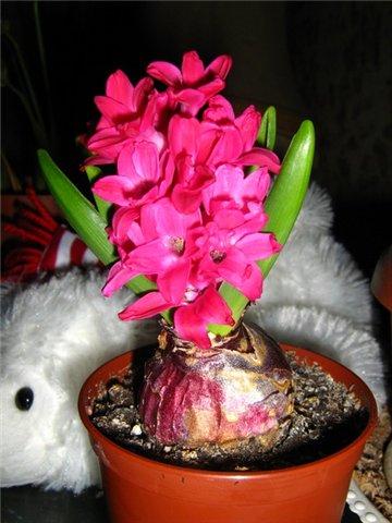 Выращивание Гиацинтов 359bd86b4173