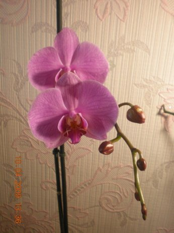 Разведение орхидей. - Страница 11 87b5d47c3069