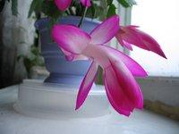 Разводите ли дома цветы и какие? F63d7ee135e4