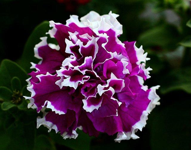 Однолетние растения - Страница 2 Ce5e7885bbdb
