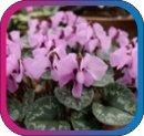 продам семена экзотических растений - Страница 3 Fa5c37e300cb