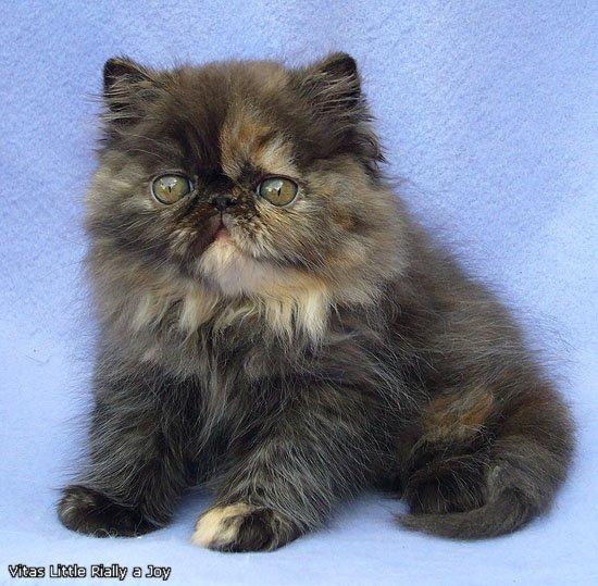 VITAS LITTLE - питомник персидских и экзотических кошек - Страница 4 C837856ce17f