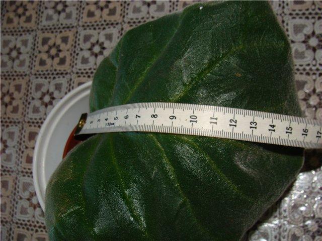 Самые большие листья глосек. 5606f5884cf4
