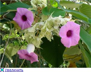 Орхидеи и прочая красота на о. Пхукет - Страница 2 56dc6ee56749t