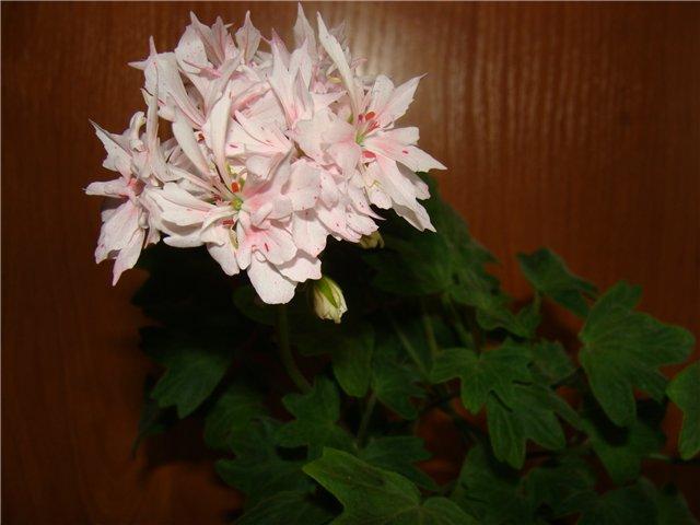 Весеннее  цветение (Хваст от Веры) - Страница 8 F2475210dac3