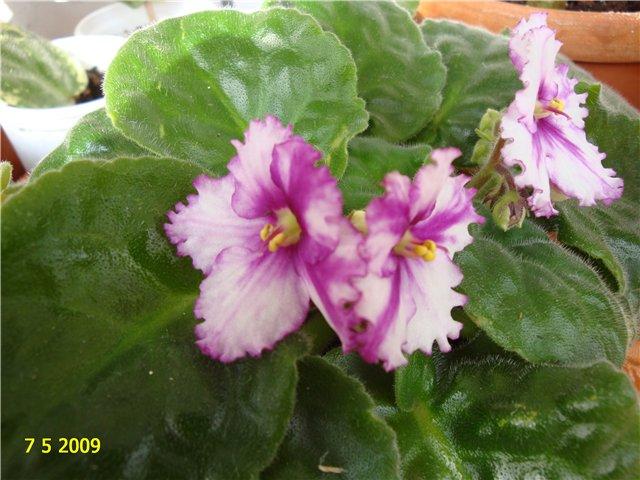 мои любимые цветочки - Страница 2 416463403ced