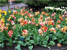 Рай тюльпанов или Кёкнхов - 2012 Ae8fd452a544t