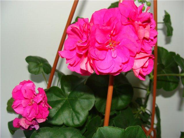 Весеннее  цветение (Хваст от Веры) - Страница 7 505111d49c51