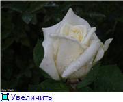 Розы 2011 Ee4b30a40603t