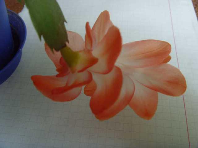"""Лесные кактусы """"Декабристы"""" (Шлюмбергеры, Рипсалидопсисы, Эпифиллумы) - Страница 2 8bbc07aee3f5"""