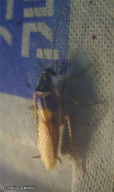 Re:Посоветуйте мелкий вид тараканов 4ba536ee4ed5