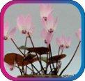 продам семена экзотических растений - Страница 3 4f41433d19e9
