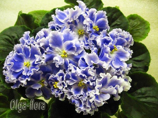 Цветение к Н. Г. (Olga-flora) - Страница 6 0ed278944c5e