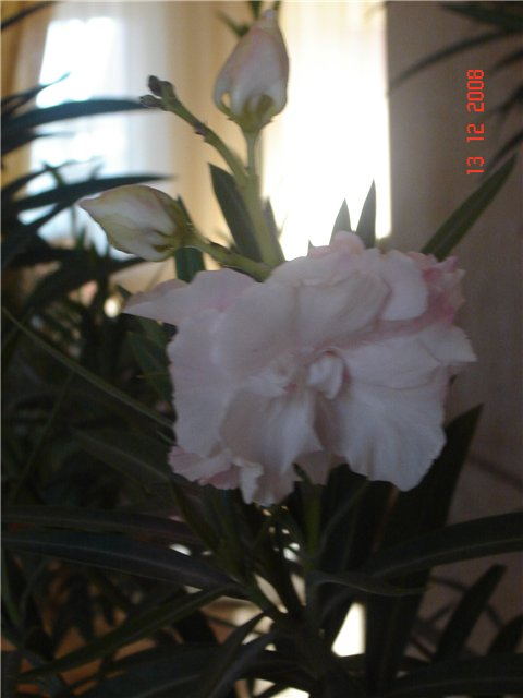 Олеандр -  Nerium oleander L. 9e4e1f86a63c