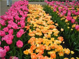 Рай тюльпанов или Кёкнхов - 2012 645da9d17870t