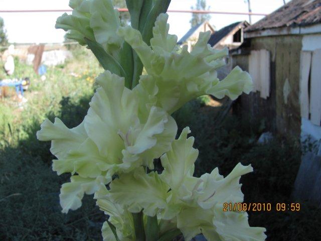 Мои садовые - Страница 2 3bfa511257c5