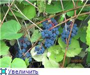 Виноград- секреты выращивания 1e9dd0eda1f9t