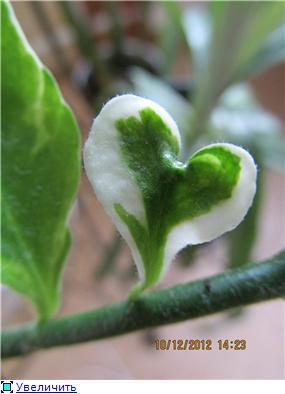 Педилантус (Pedilanthus) 70e169a79aa1t