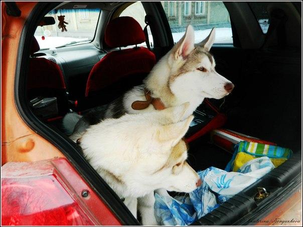 Siberian huskies in Russia. 6f0443b16a3f