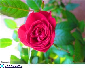 Розы в комнатной культуре - Страница 8 C610822f919ct