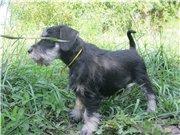 Цвергшнауцера щенки, окрас черный с серебром 78b055ec12a3t