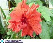 """""Гибискус"""" - Страница 17 5addeec4416ct"