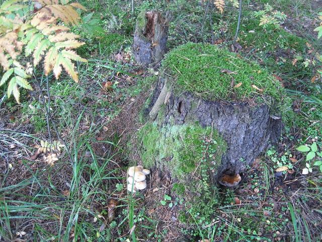 За грибами в Конаково (Тверская область, Волга)! 5071d19af047