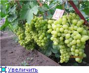 Виноград- секреты выращивания - Страница 2 C7d0e9e2d647t