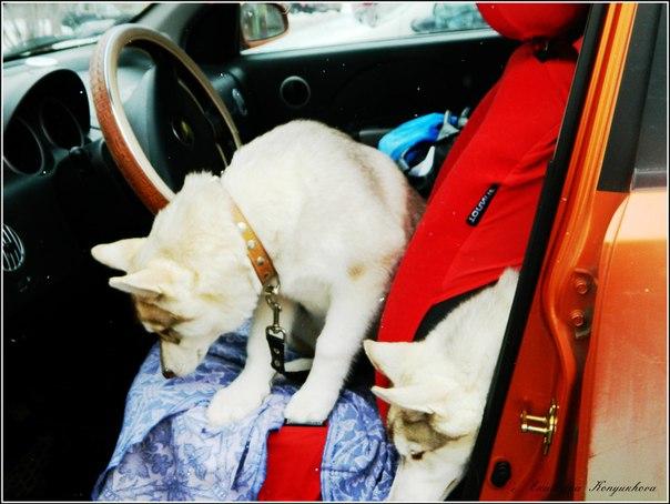 Siberian huskies in Russia. Eae3b5bab76a