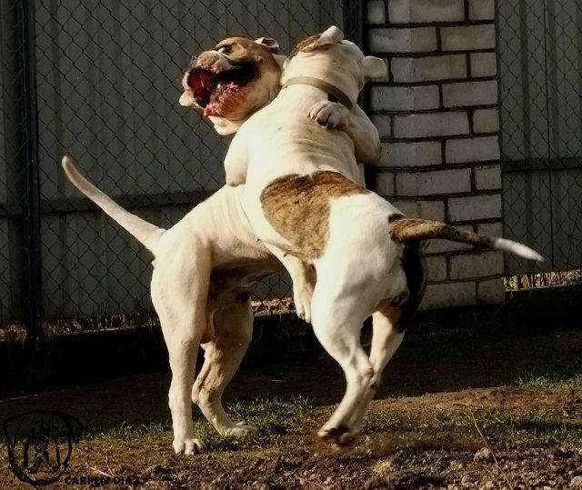 Собаки питомника Carpen Diaz - Страница 2 Ed042413b7fa