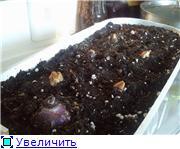 Выгонка луковичных. Тюльпаны, крокусы и др. A23944dfa743t