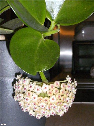 Hoya pachyclada  40096905f29f