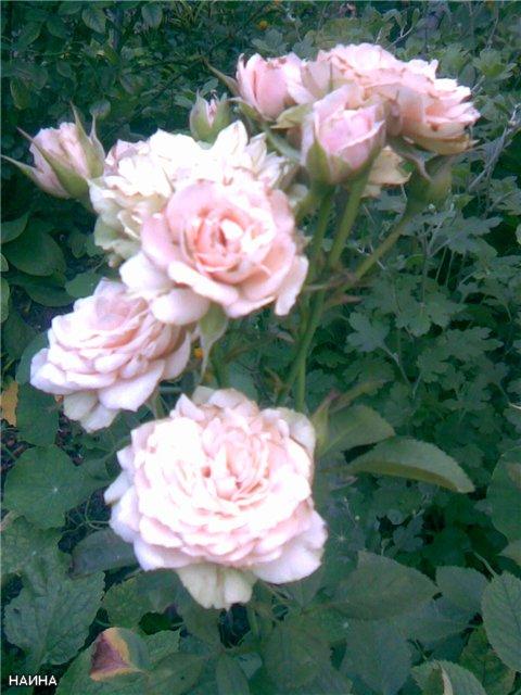 <K> Украсим розами любовь!  Фотовыставка. 06f22b1012ea