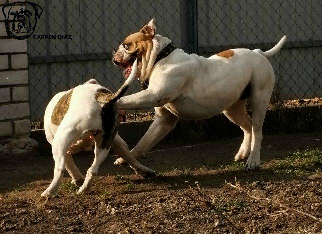 Собаки питомника Carpen Diaz - Страница 2 B3c1b5283ba9