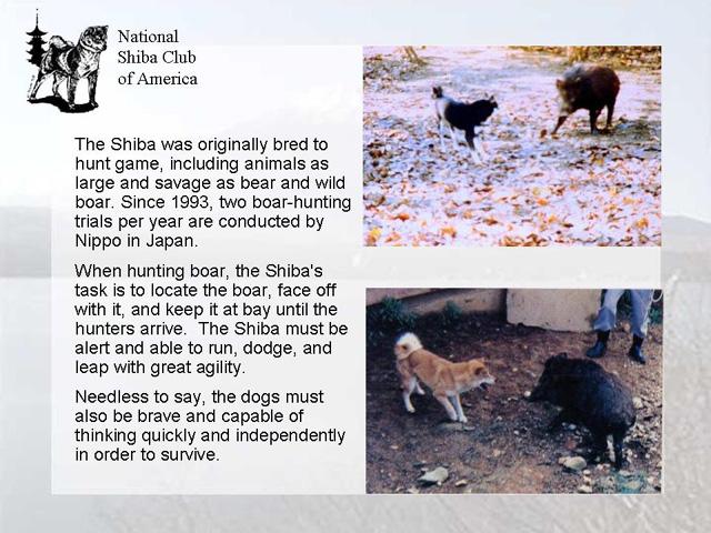 Информация о Шиба-Ину 65ae996f4f3f