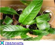 Размножение стрептокарпусов - Страница 5 F18229b0aa9ft