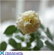 Розы в комнатной культуре - Страница 2 8b6aeea1596ft